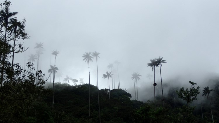 Wax palms in Los Nevados National Park Colombia