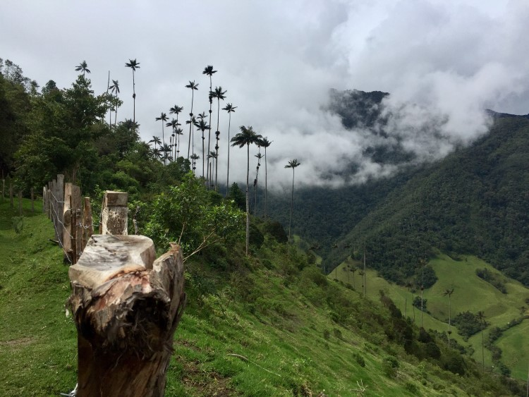 Views of wax palms in Parque Nacional Los Nevados Colombia