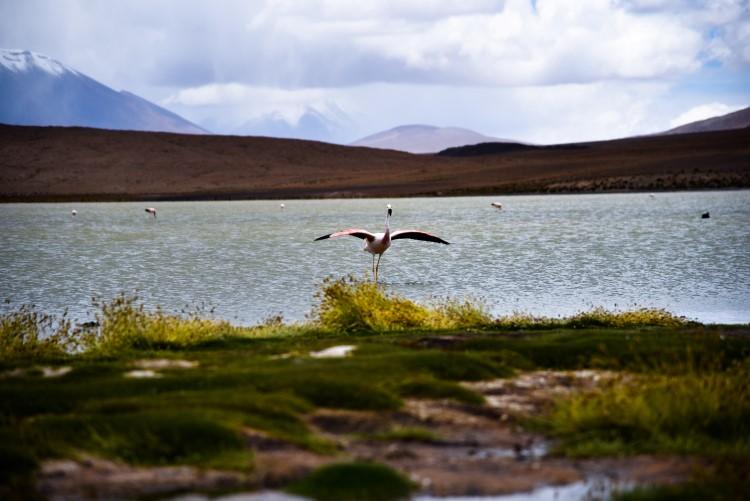 Flamingo on lake near the Bolivian salt flats.