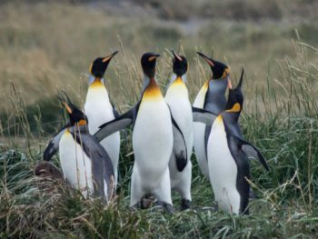 King penguins in Bahia Inutil in Tierra del Fuego, one of Chilean Patagonia's most beautiful travel destinations