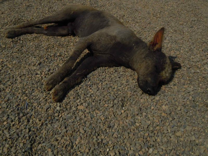 A hairless dog lies on the beach in Huanchaco, Peru