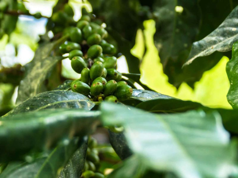 Coffee beans in San Pedro de Mendoza, a small town in the Amazonas region and an interesting place to include when planning a trip to Peru