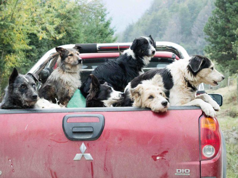 Six dogs in the back of a truck in Futaleufu