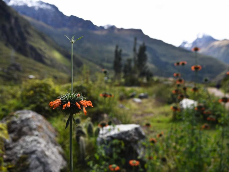 Flowers along the Inca trail