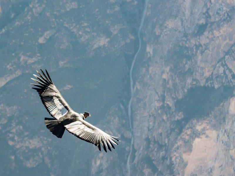 A soaring Andean Condor.