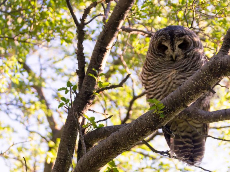 A chaco owl on a tree branch, pictured while hiking the O Circuit in Torres del Paine National Park, Patagonia