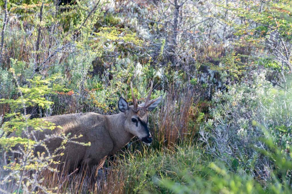 When driving in Patagonia, keep an eye out for the endangered Huemul deer.