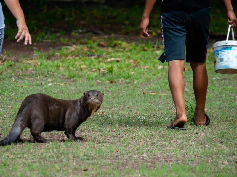 An otter looks at the camera in Karanambu Lodge in Guyana