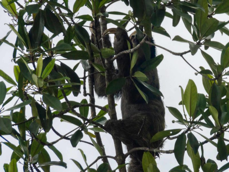 A sloth climbs up a tree in Guyana, South America