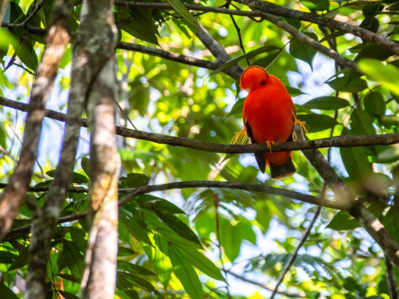 A bright orange Cock-of-the-rock bird sits on a tree branch in Guyana attracting both tourists and a mate.