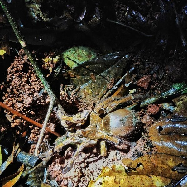 A frightening tourist attraction, a tour culminates in seeing a goliath birdeater tarantula crouched under the flashlight on the forest floor in Guyana.
