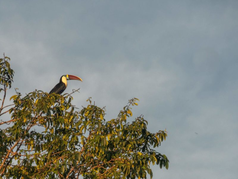 A brightly-billed toucan sits in a treetop against a cloud-filled sky in Guyana.