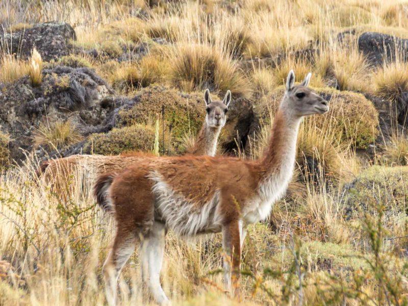 A guanaco in Parque Nacional Patagonia