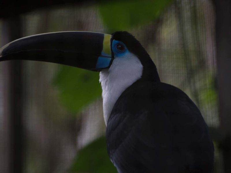 A toucan in the Bolivian jungle
